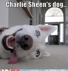 hurr-durr-derp-face-charlie-sheens-dog